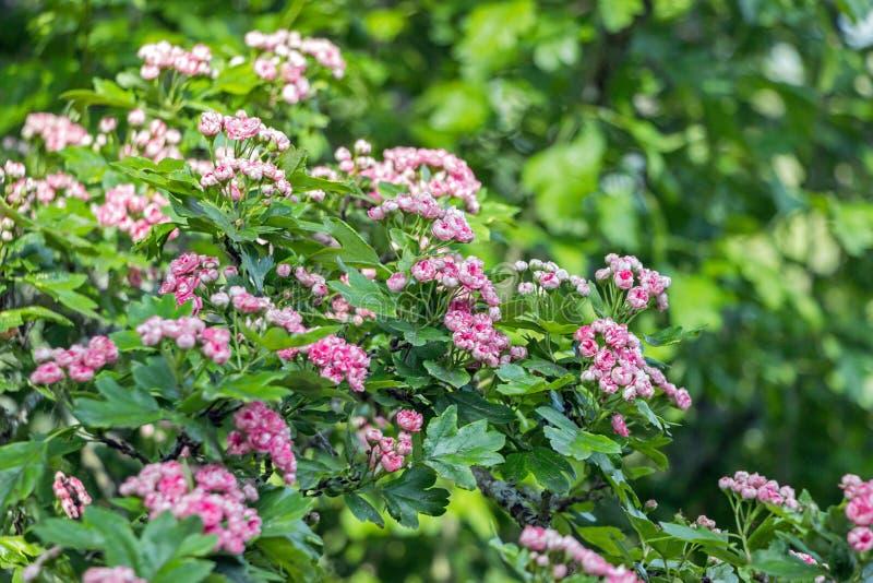 Fleur rouge de fleur d'aubépine sur la branche images stock