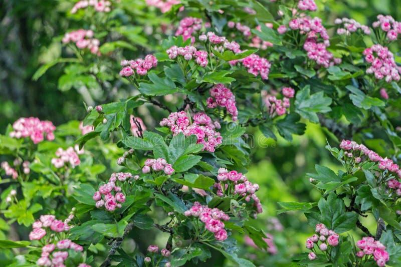Fleur rouge de fleur d'aubépine sur la branche photographie stock