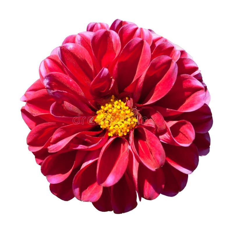 Fleur rouge de dahlia avec le centre jaune d'isolement images stock