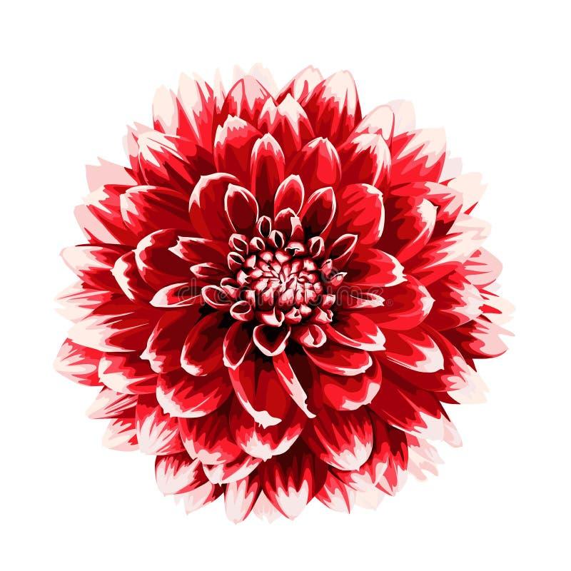 Fleur rouge de dahlia de bel automne d'isolement sur le fond blanc illustration stock