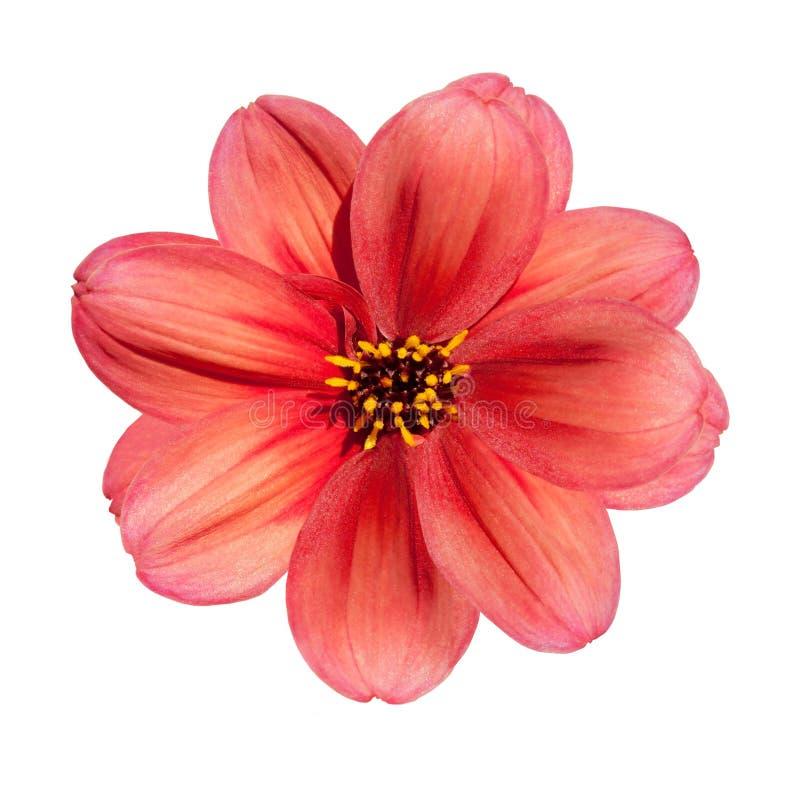 Fleur rouge de dahlia d'isolement sur le fond blanc photographie stock libre de droits