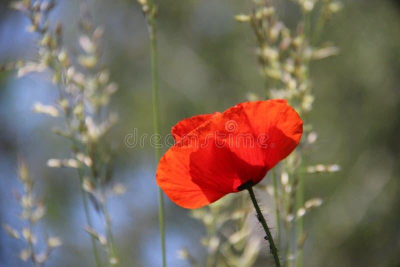 Fleur rouge de floraison d'opium photos stock