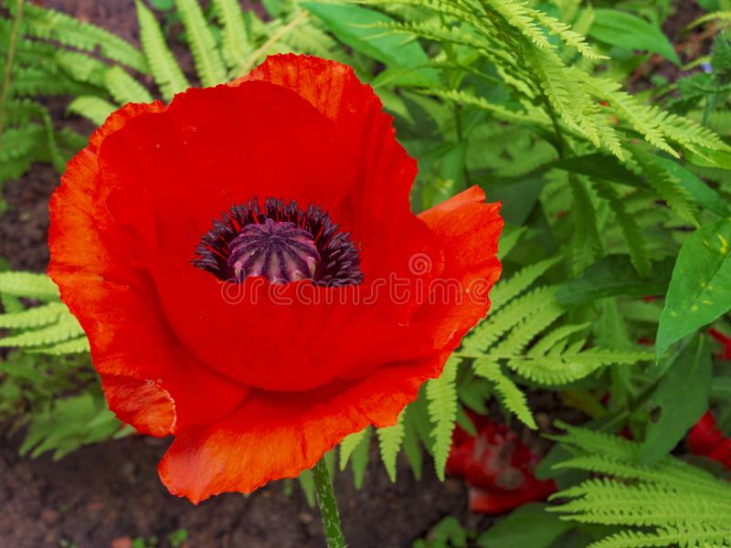 Fleur rouge de floraison de pavot image stock