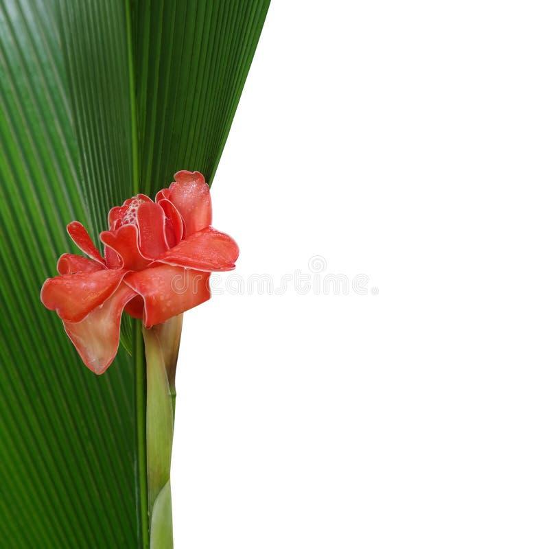 Fleur rouge de gingembre de torche avec des gouttes de pluie sur la palmette et le wh verts image stock