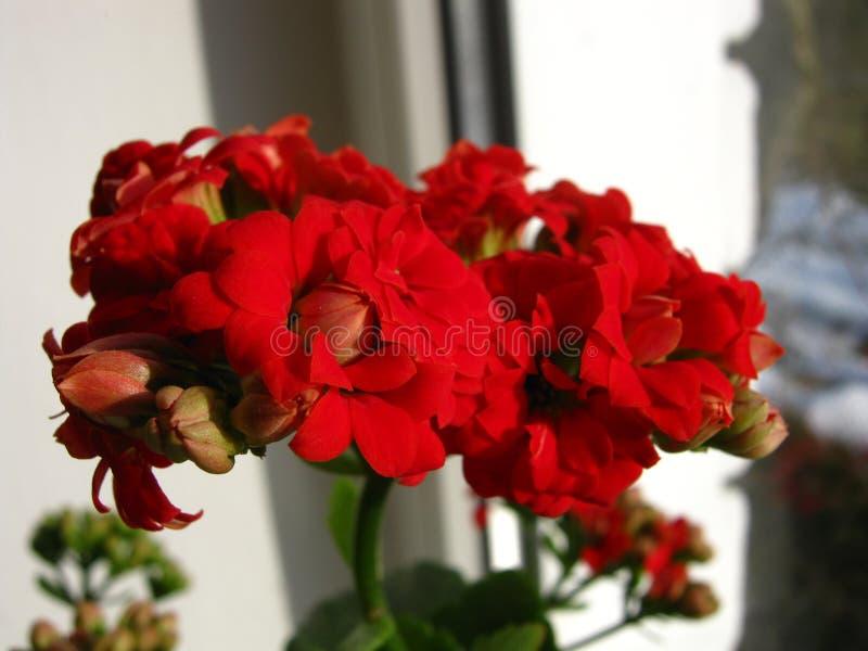 Fleur rouge de kalanchoe avec le vert sur la fenêtre photographie stock
