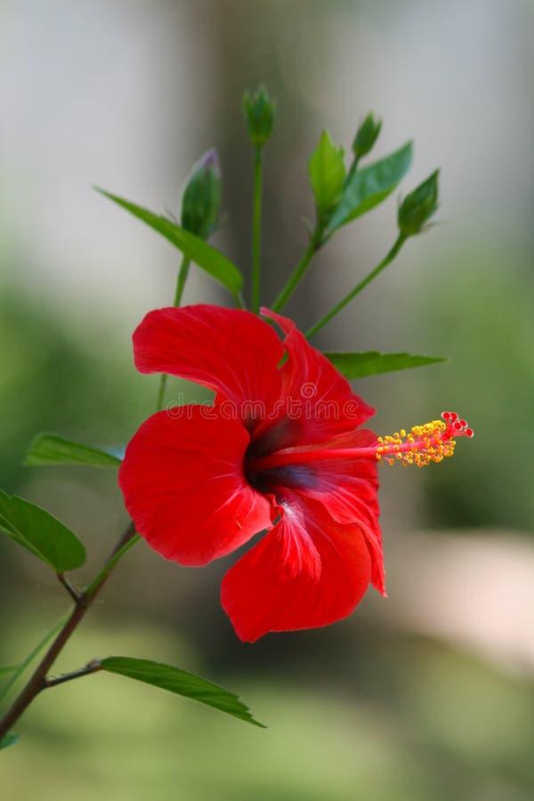 Fleur rouge de ketmie photos stock