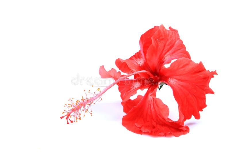 Fleur rouge de ketmie images libres de droits