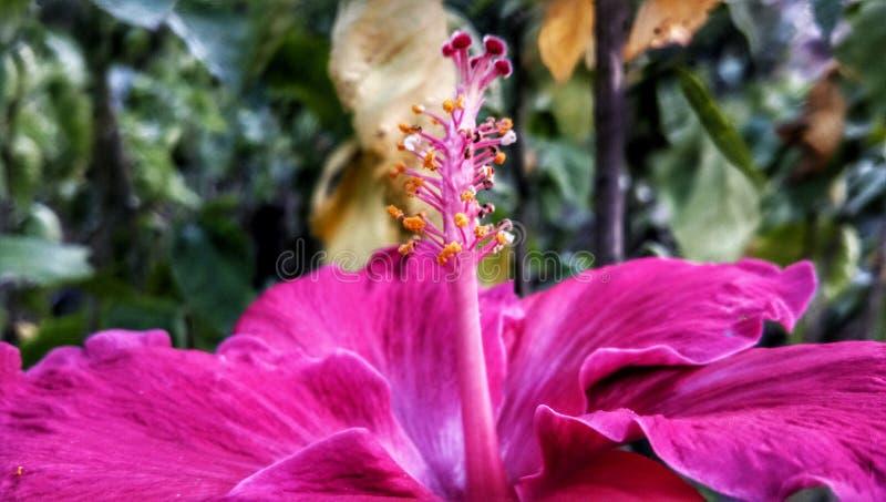Fleur rouge de ketmie dans le jardin de mère nature photos libres de droits