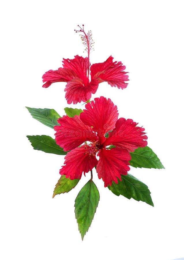 Fleur rouge de ketmie sur le blanc photo libre de droits