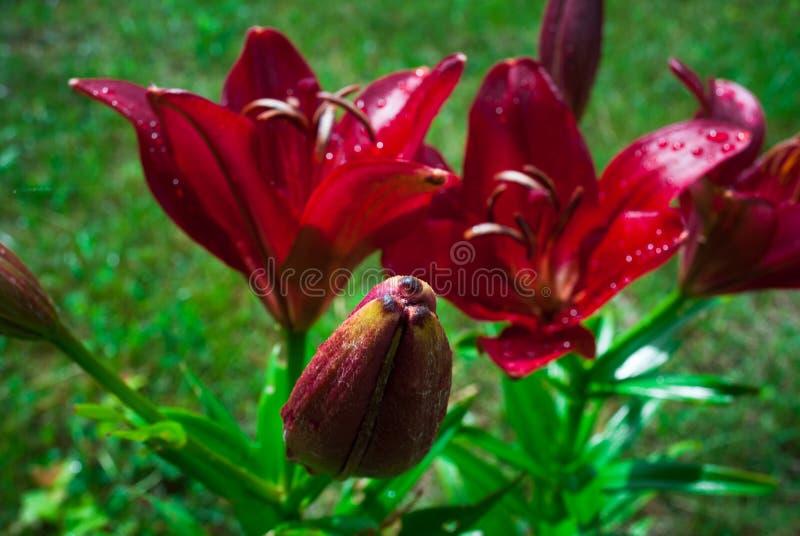 Fleur rouge de lis avec des baisses des gouttes de rosée de la rosée dans le jardin Lil rouge photos stock