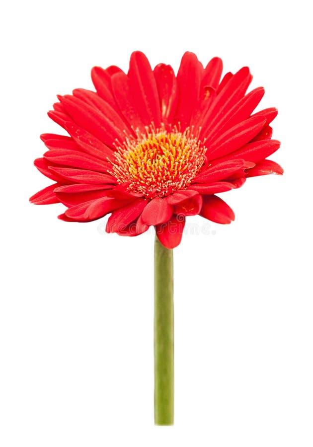 Fleur rouge de marguerite de gerbera d'isolement sur le fond blanc image stock