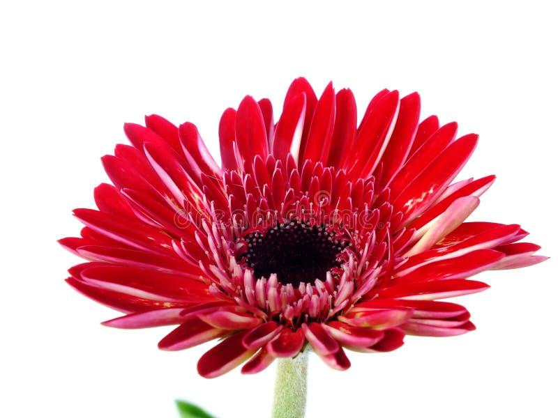 Fleur rouge de marguerite de gerbera d'isolement sur le fond blanc photographie stock libre de droits