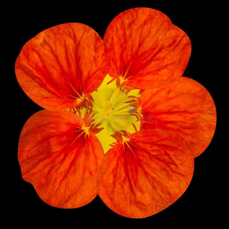 Fleur rouge de nasturce d'isolement sur le noir photographie stock