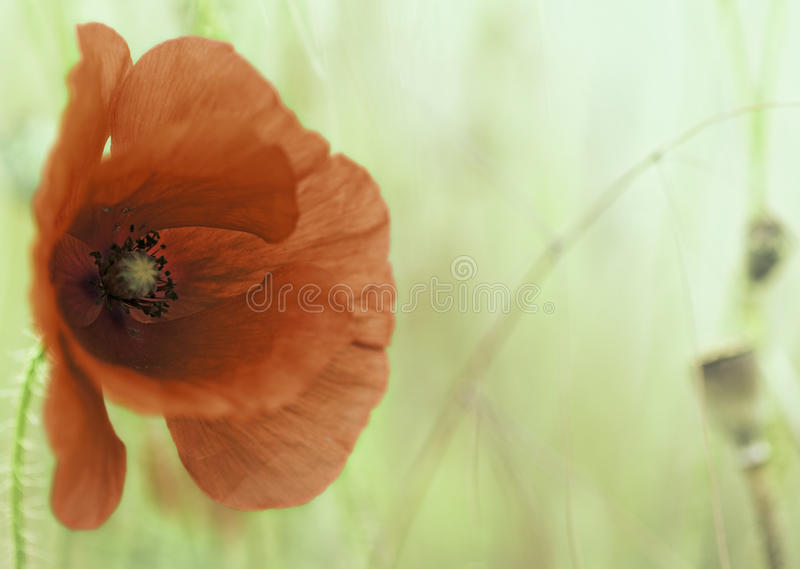 Fleur rouge de pavot photo libre de droits