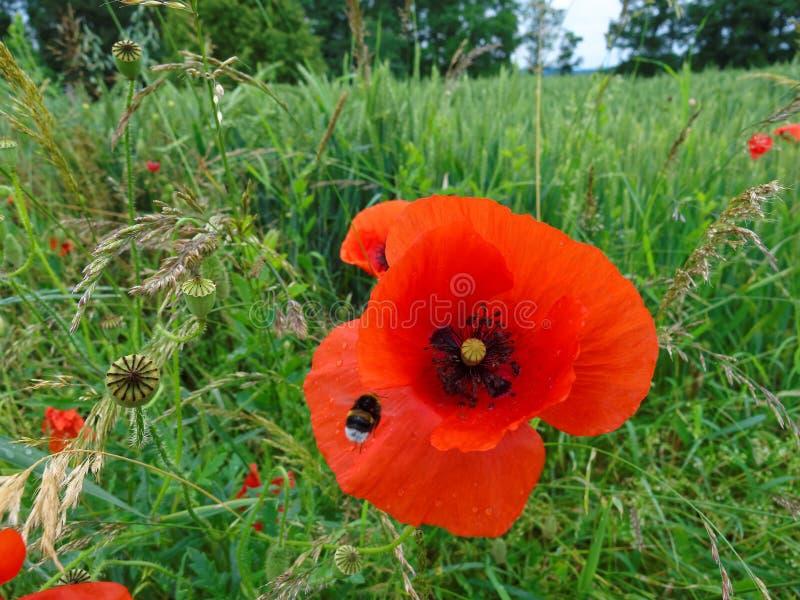 Fleur rouge de pavot avec le bourdon après pluie image stock