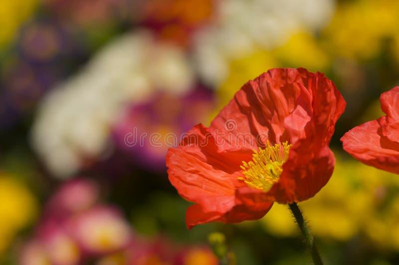 Fleur rouge de pavot d'Islande photographie stock