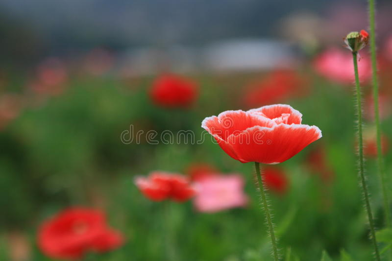 Fleur rouge de pavot d'Islande dans le jardin image libre de droits