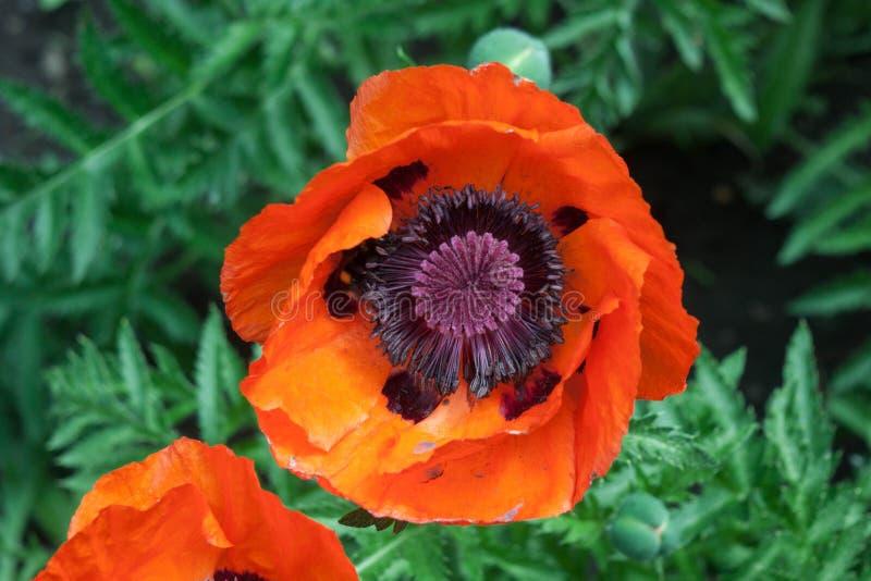 Fleur rouge de pavot dans le jardin photographie stock