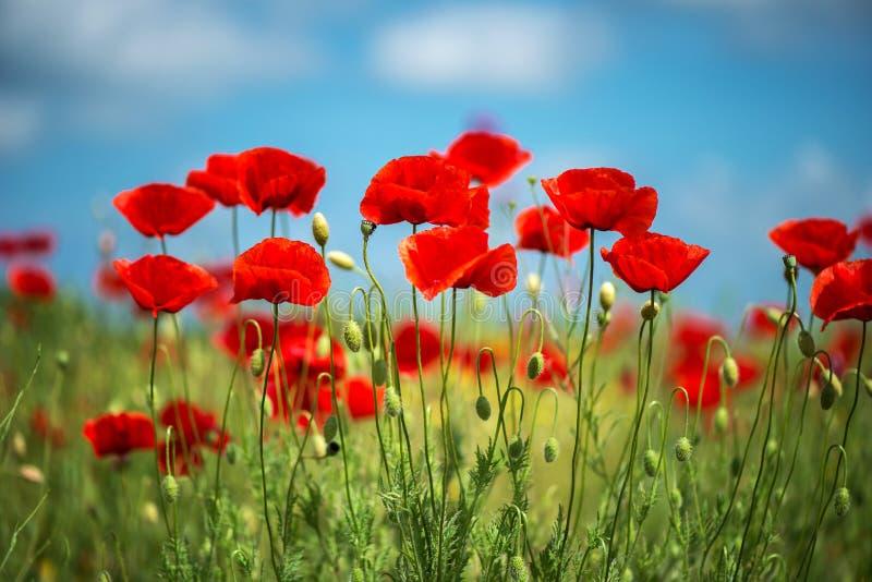 Fleur rouge de pavots de fleurs sur le champ sauvage Pavots rouges de beau champ avec le foyer sélectif Lumière molle Drogues nat photographie stock