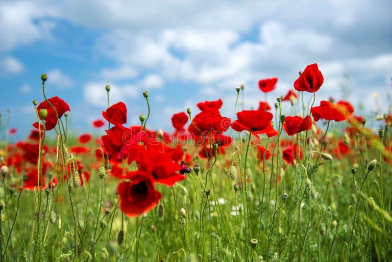 Fleur rouge de pavots de fleurs sur le champ sauvage Pavots rouges de beau champ avec le foyer sélectif Lumière molle Drogues nat photographie stock libre de droits