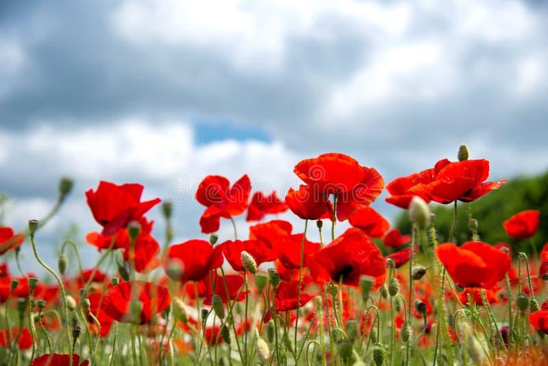 Fleur rouge de pavots de fleurs sur le champ sauvage Pavots rouges de beau champ avec le foyer sélectif Lumière molle Drogues nat photo stock
