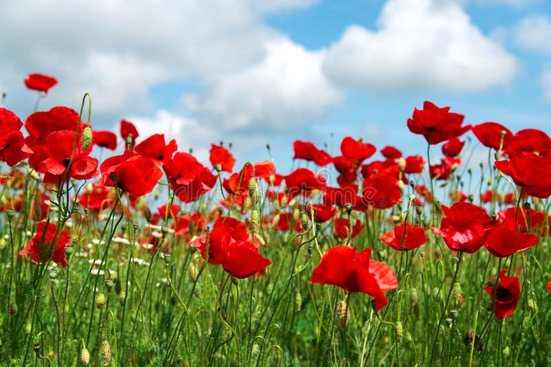 Fleur rouge de pavots de fleurs sur le champ sauvage Pavots rouges de beau champ avec le foyer sélectif Lumière molle Drogues nat image libre de droits