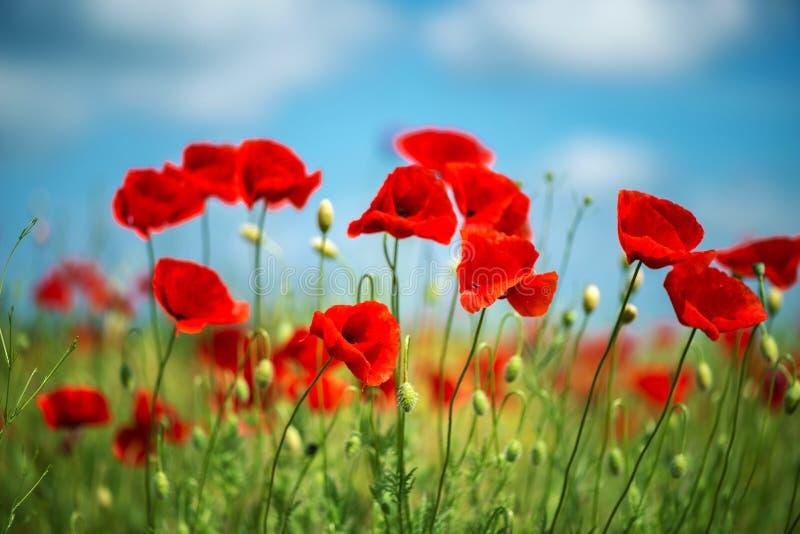 Fleur rouge de pavots de fleurs sur le champ sauvage Pavots rouges de beau champ avec le foyer sélectif Lumière molle Drogues nat photo libre de droits
