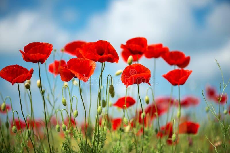 Fleur rouge de pavots de fleurs sur le champ sauvage Pavots rouges de beau champ avec le foyer sélectif Lumière molle Drogues nat images stock