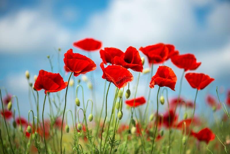 Fleur rouge de pavots de fleurs sur le champ sauvage Pavots rouges de beau champ avec le foyer sélectif Lumière molle Drogues nat photos libres de droits