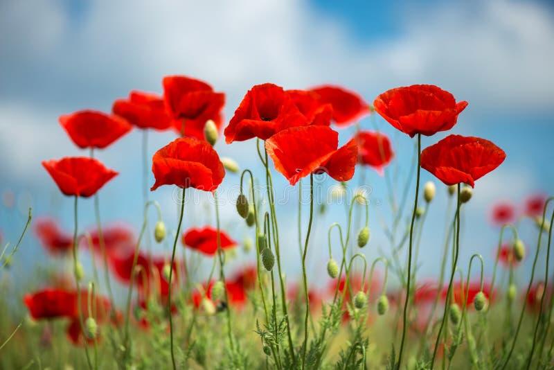 Fleur rouge de pavots de fleurs sur le champ sauvage Pavots rouges de beau champ avec le foyer sélectif Lumière molle Drogues nat photos stock
