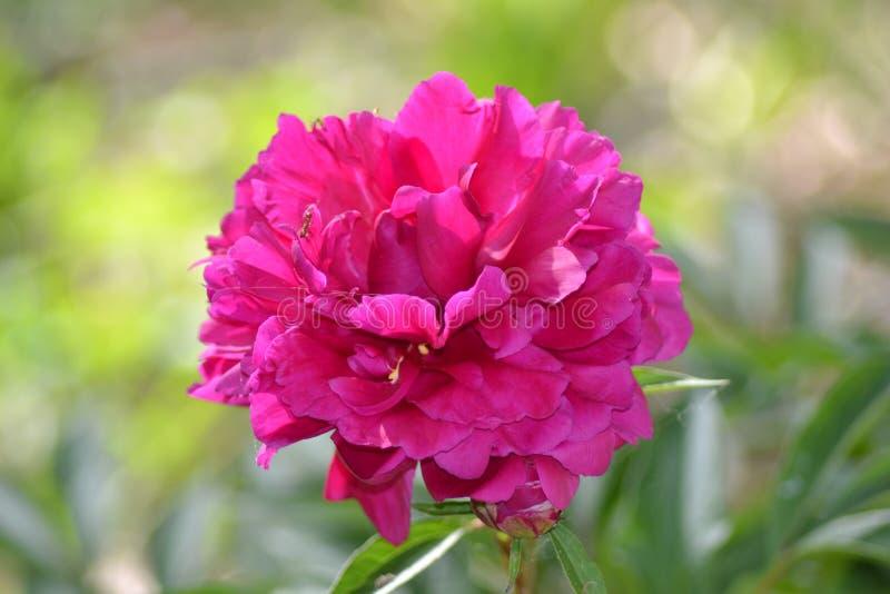 Fleur rouge de Peonee avec la fourmi photos stock