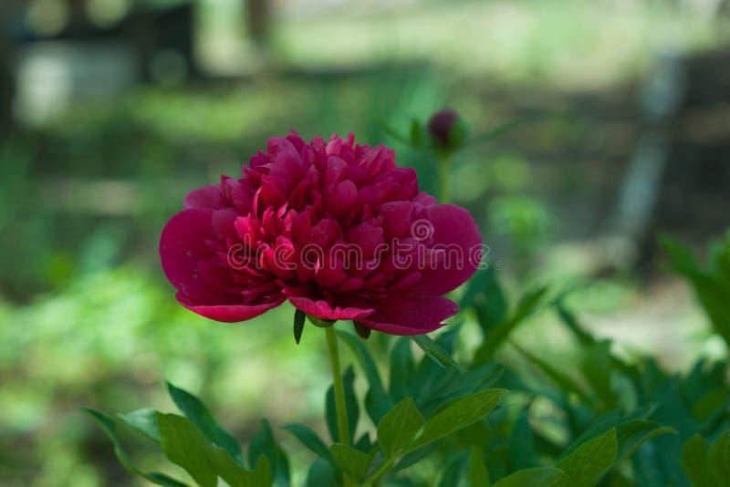 Fleur rouge de pivoine dans le jardin photo stock