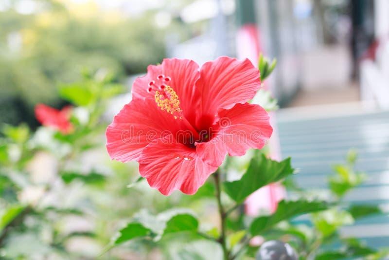 Fleur rouge de rosa-sinensis de ketmie photos stock