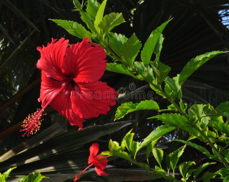 Fleur rouge de rosa-sinensis de ketmie photographie stock