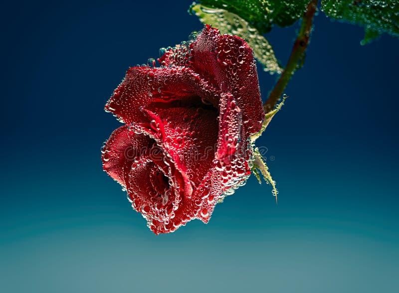 Fleur rouge de Rose dans l'eau minérale avec des bulles d'air photo stock