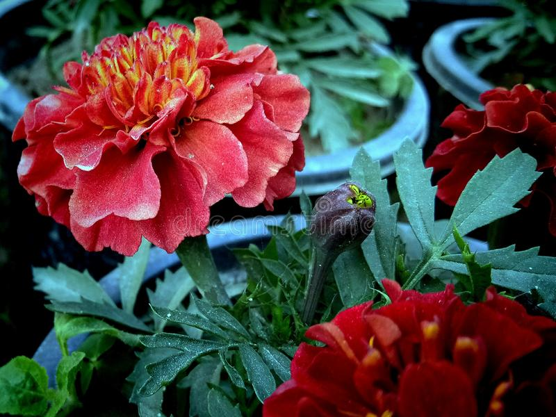 Fleur rouge de souci indien dans le jardin image libre de droits