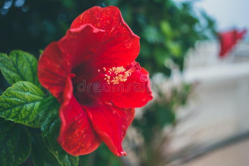 Fleur rouge de ton de vintage d'art de ketmie image stock