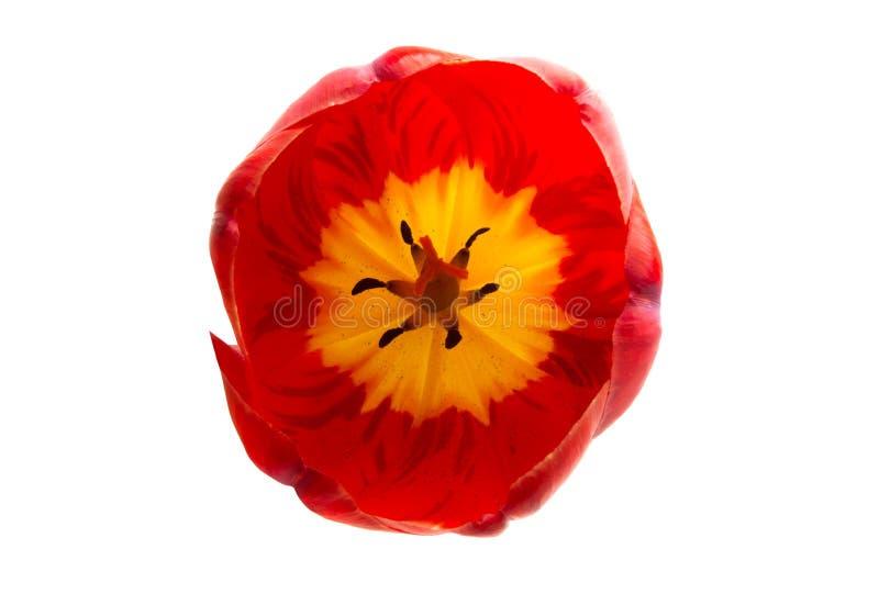 fleur rouge de tulipe d'isolement photos stock