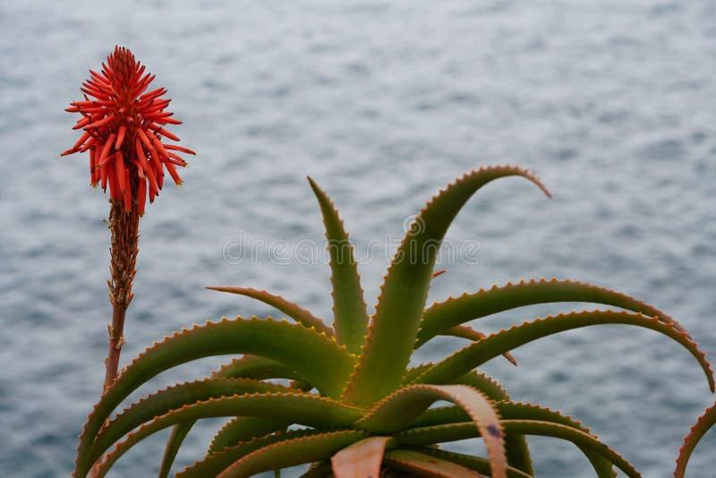 Fleur rouge de Vera d'aloès photographie stock