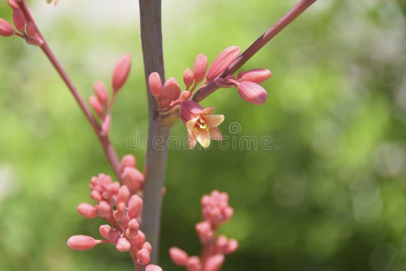 Fleur rouge de yucca - Hesperaloe Parviflora photos stock