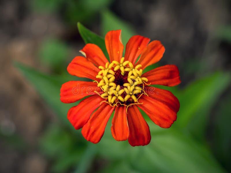 Fleur rouge de zinnia photo stock