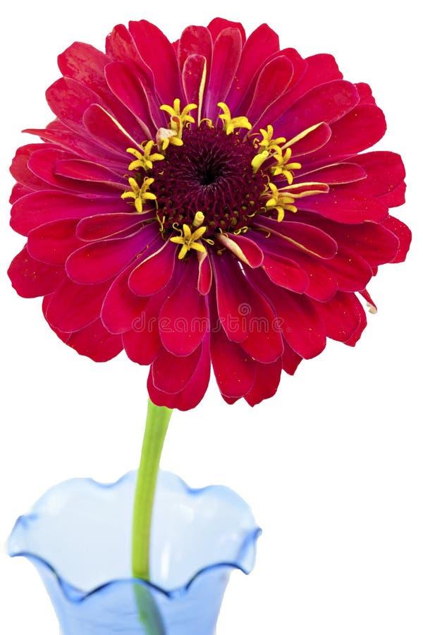 Fleur rouge de Zinnia sur le fond blanc photographie stock libre de droits