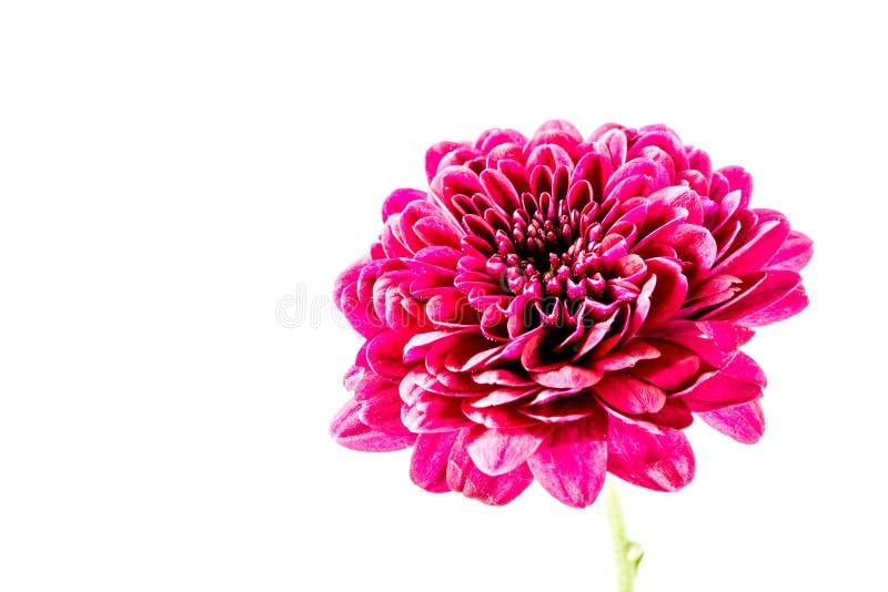 Fleur rouge en gros plan de dahlia photos libres de droits