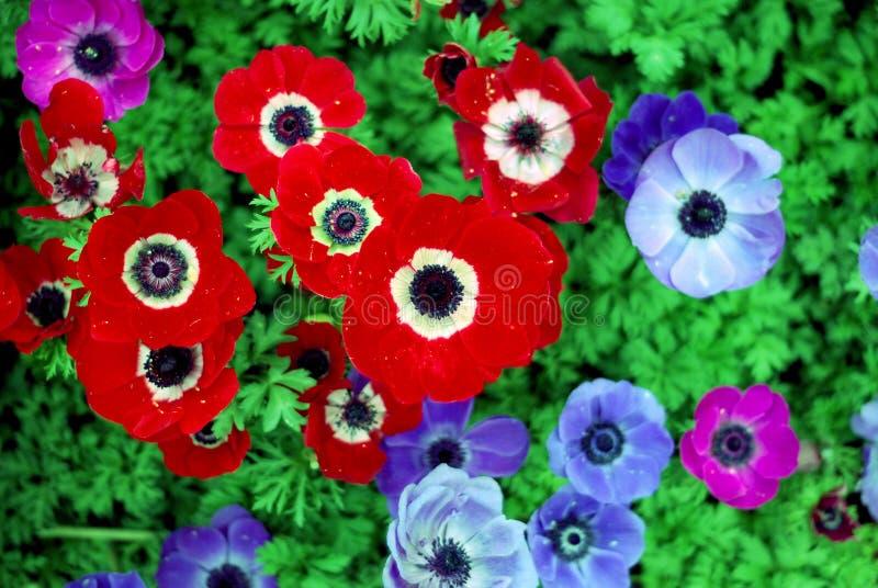 fleur rouge et fleur bleue photo stock