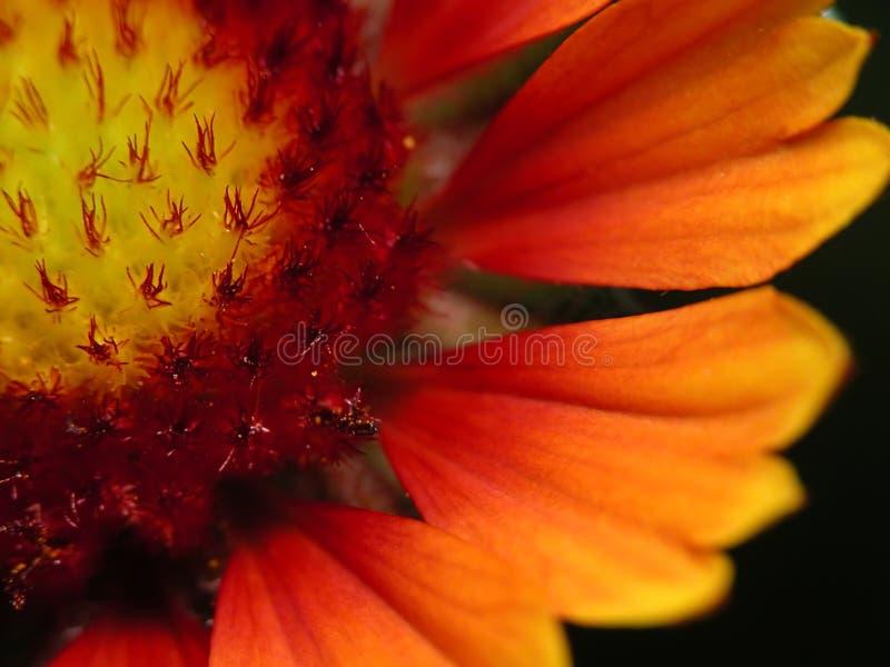 Download Fleur rouge et jaune image stock. Image du abeille, zoom - 70641