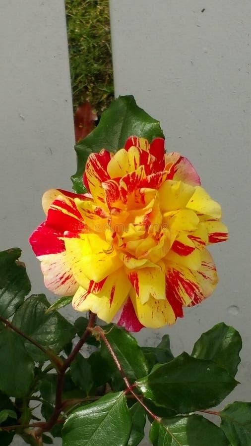 Fleur rouge et jaune images stock
