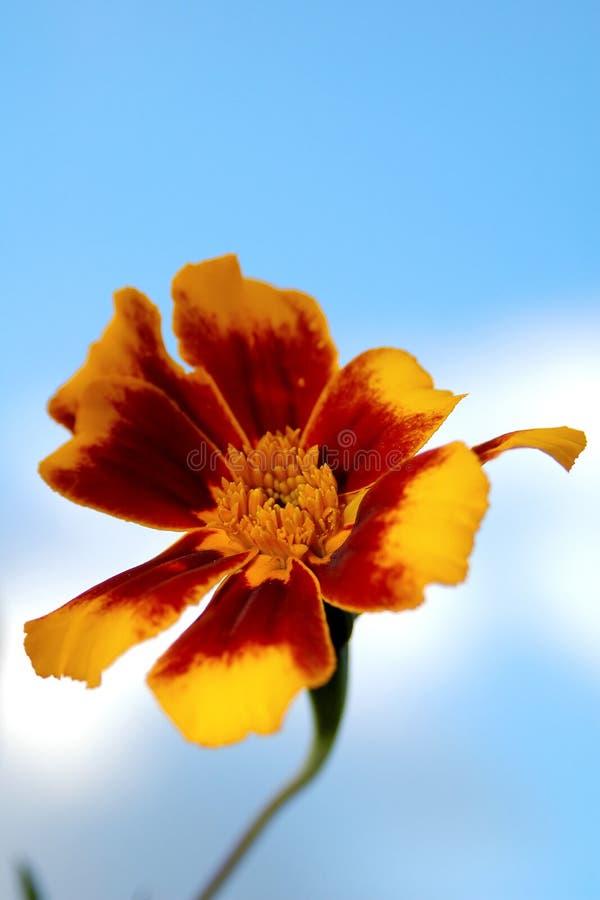 Fleur rouge et jaune sur le ciel images libres de droits