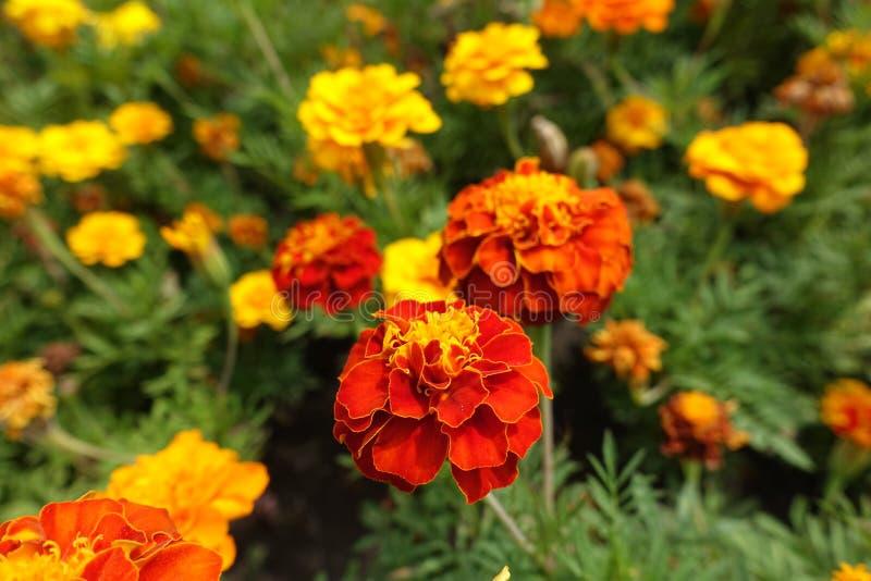 Fleur rouge et orange de Tagetes patula image libre de droits