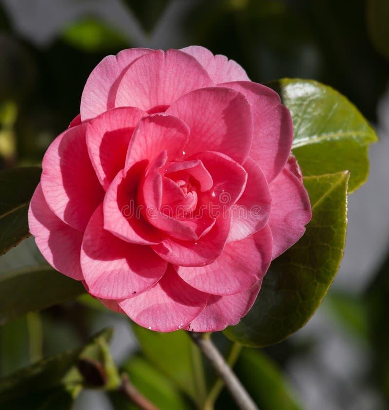 Fleur rouge et rose de camelia photos libres de droits