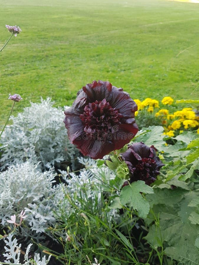 Fleur rouge foncé photos libres de droits